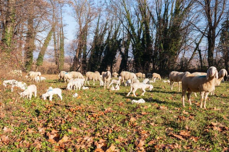 стая ягнится овцы стоковые изображения rf