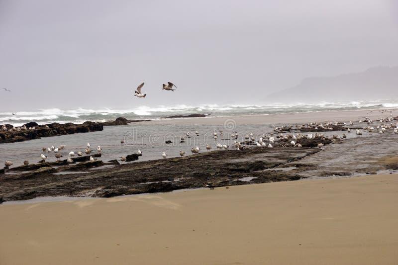 Стада чайок летая вдоль прибрежного песка приставают к берегу стоковая фотография