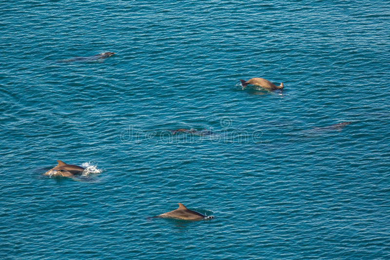 Стадо афалинов Чёрного моря дурит около побережья Крыма стоковое изображение