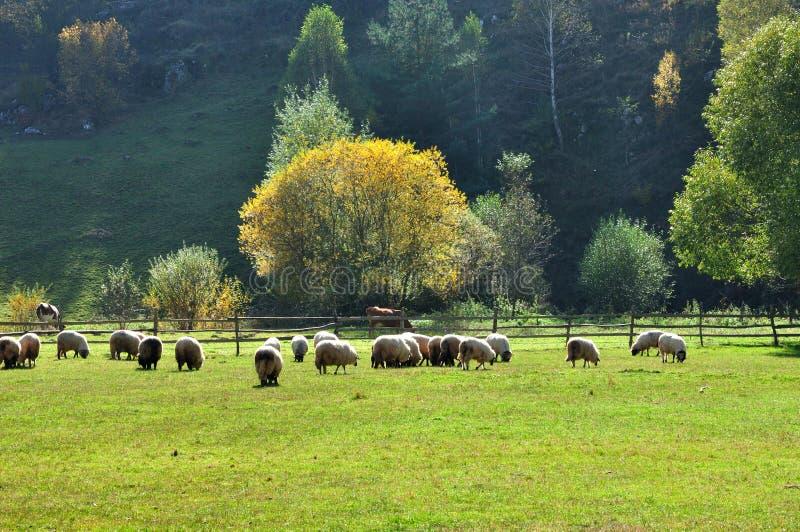 Стадо выгона овец merino на осени стоковые изображения rf