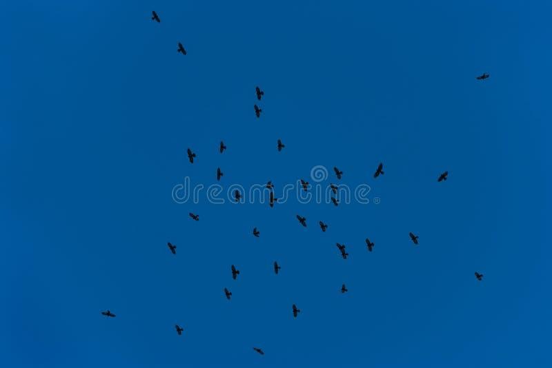 Стадо галок летая в голубое небо стоковая фотография rf