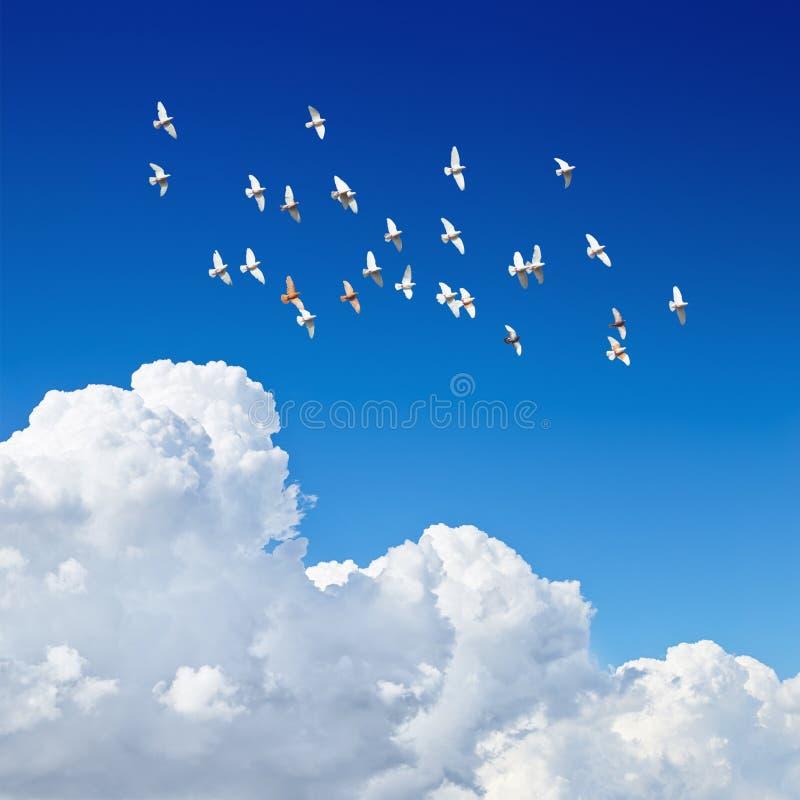 Стадо голубей летая в голубое небо стоковое фото rf