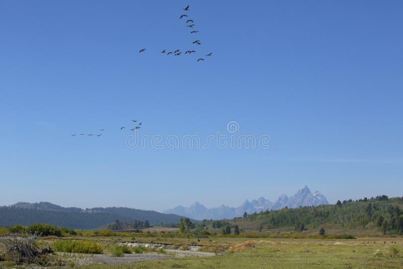 Стадо гусынь в полете, гор Teton, Jackson Hole, Вайоминга стоковые изображения