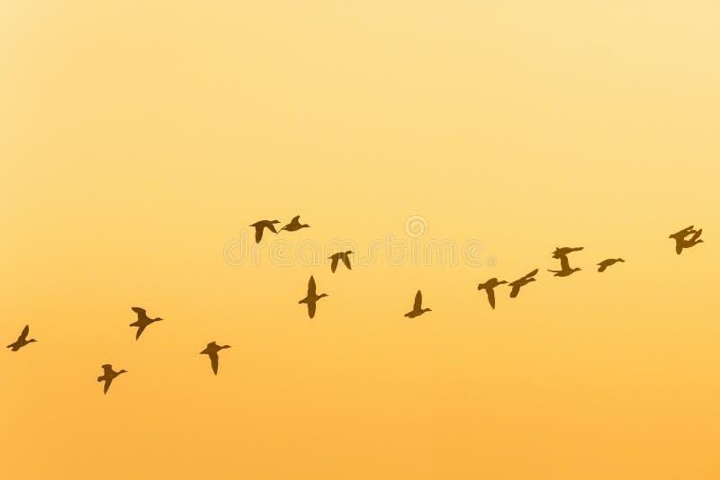 Стадо гусынь летая в восход солнца стоковая фотография rf