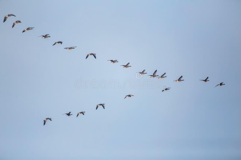 Стадо гусынь фасоли проникать летая в v-образование стоковые фото