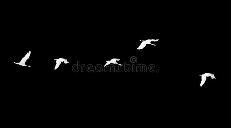 Стадо лебедей на черной предпосылке стоковое изображение rf