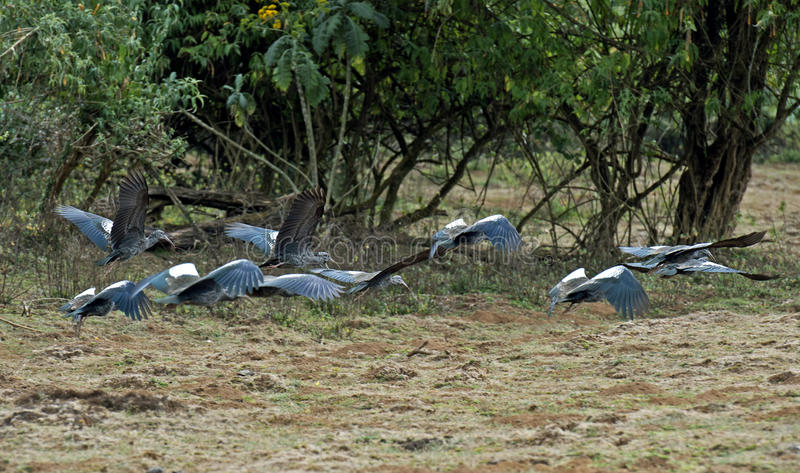 Стадо летая Wattled Ibis стоковые фото