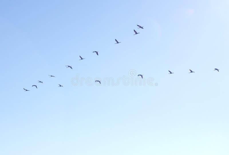 Стадо кранов в небе стоковые фото