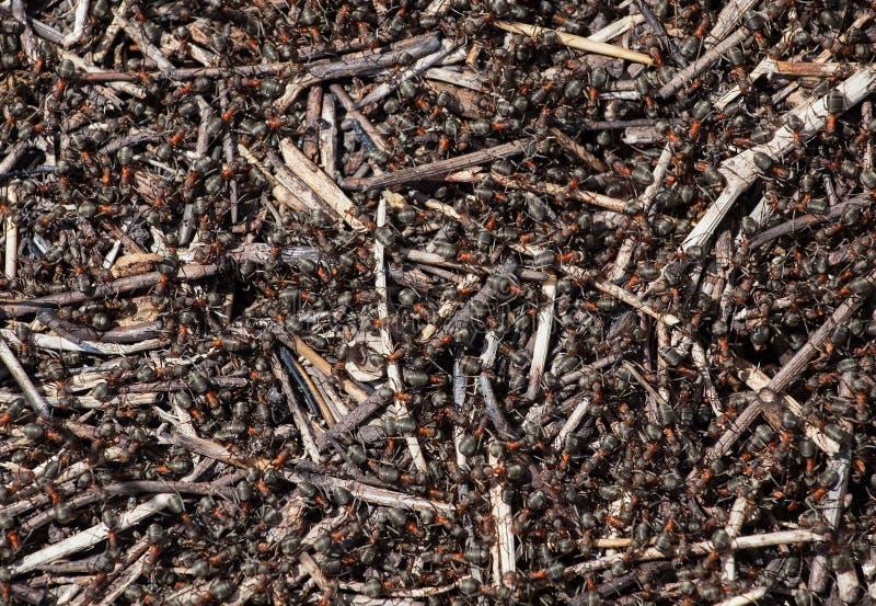 стадо муравьев собирает еду около anthill стоковые изображения
