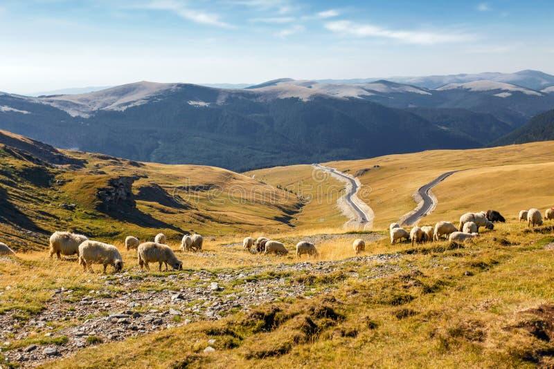 Стадо овец есть траву na górze горы стоковая фотография rf