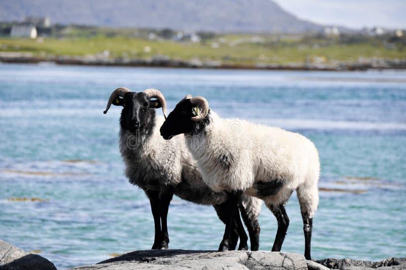 Download Стадо овец, Ирландии стоковое фото. изображение насчитывающей табун - 40575234