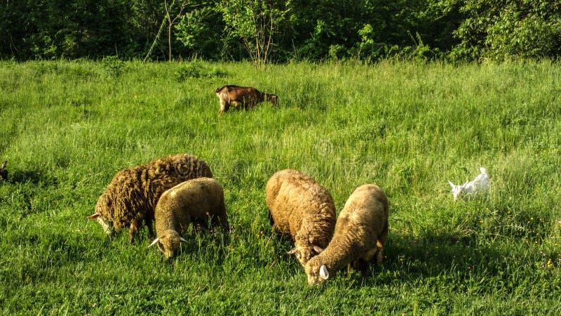 Стадо овец и маленькой белой козы в луге стоковое изображение