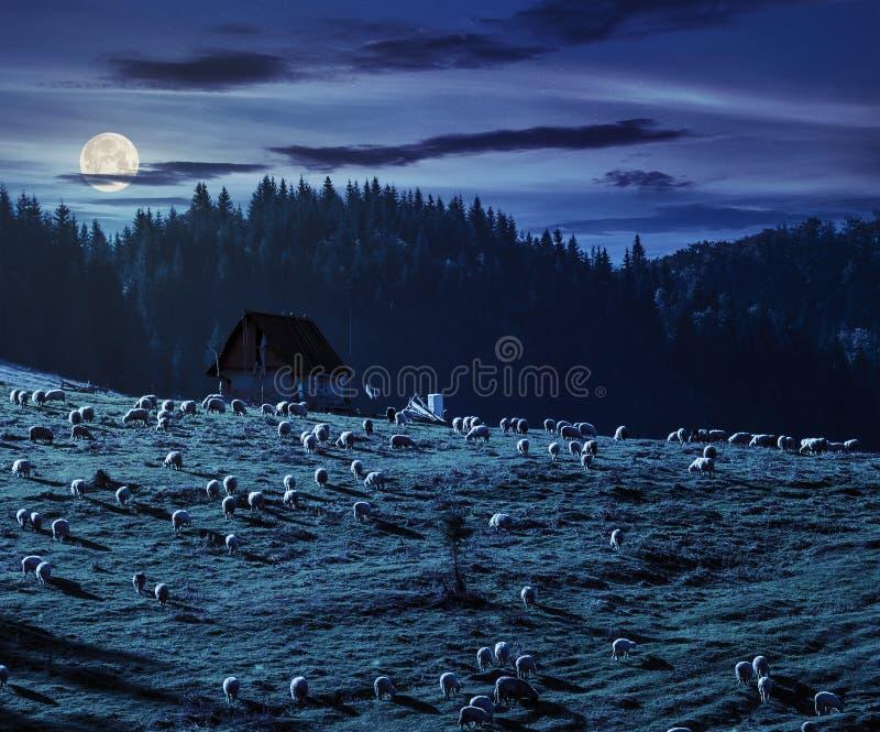 Стадо овец на луге около леса в горах на ноче стоковое фото