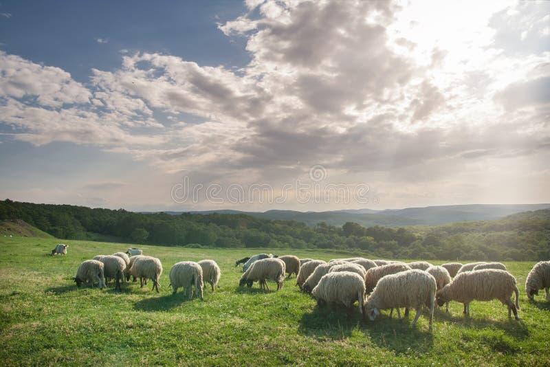 Стадо овец пася на красивом луге горы стоковая фотография