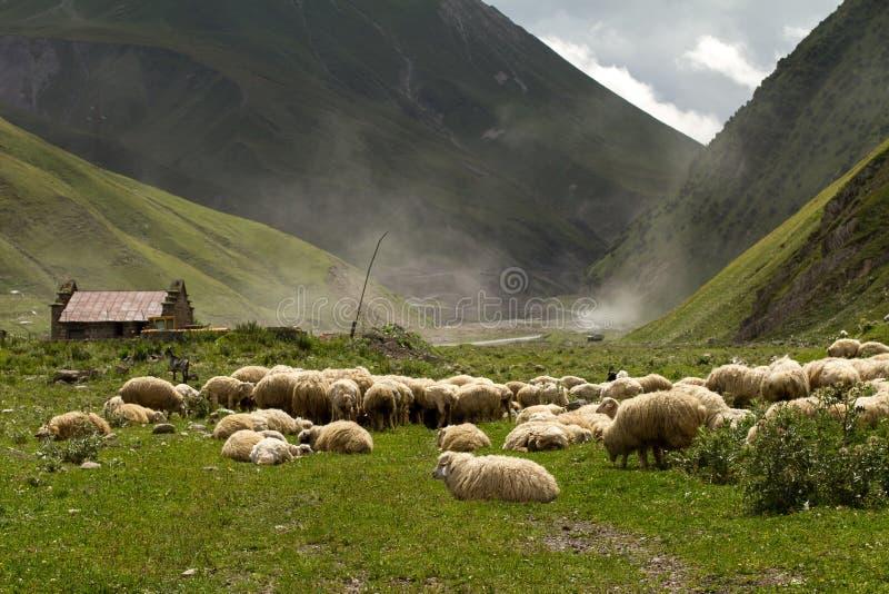Стадо овец стоковые фото