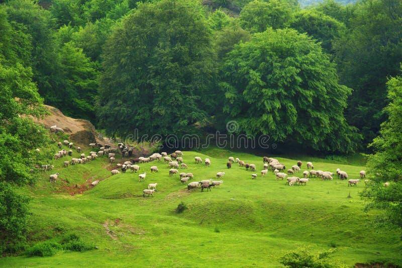Стадо овец стоковые изображения rf