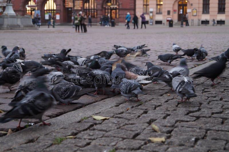 Стадо одичалых голубей стоковое изображение