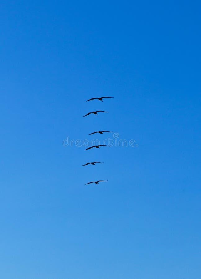 Стадо пеликанов в воздухе стоковое фото rf