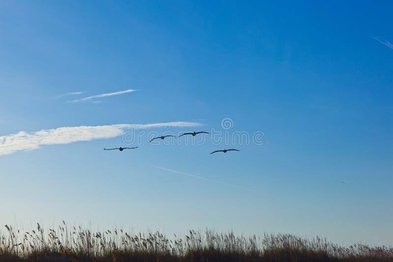 Стадо пеликанов в воздухе стоковые изображения rf
