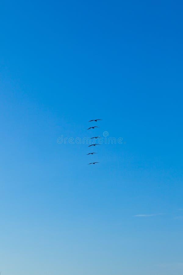 Стадо пеликанов в воздухе стоковые фотографии rf