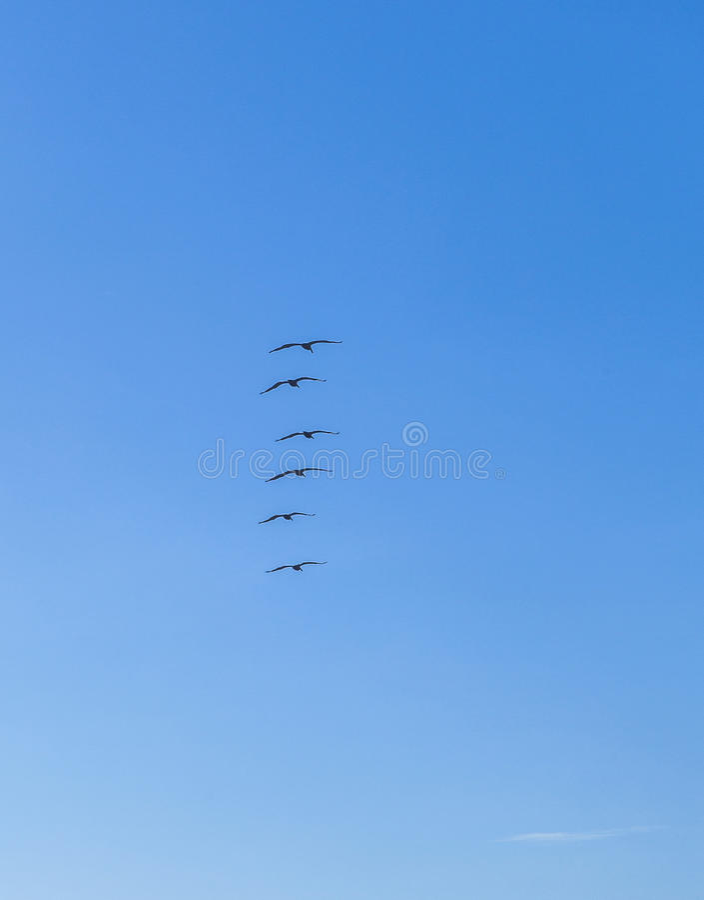 Стадо пеликанов в небе стоковая фотография rf