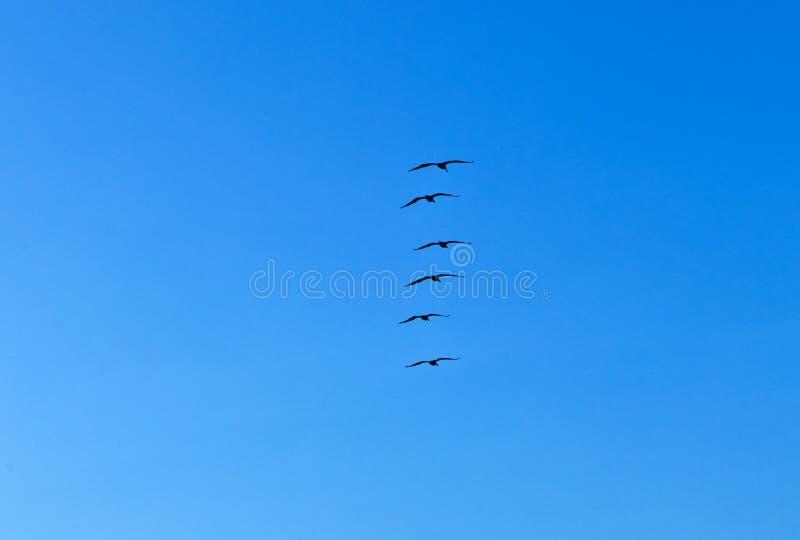 Стадо пеликанов стоковые изображения