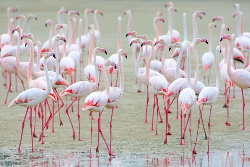 Стадо розовых фламинго на песке стоковое изображение rf