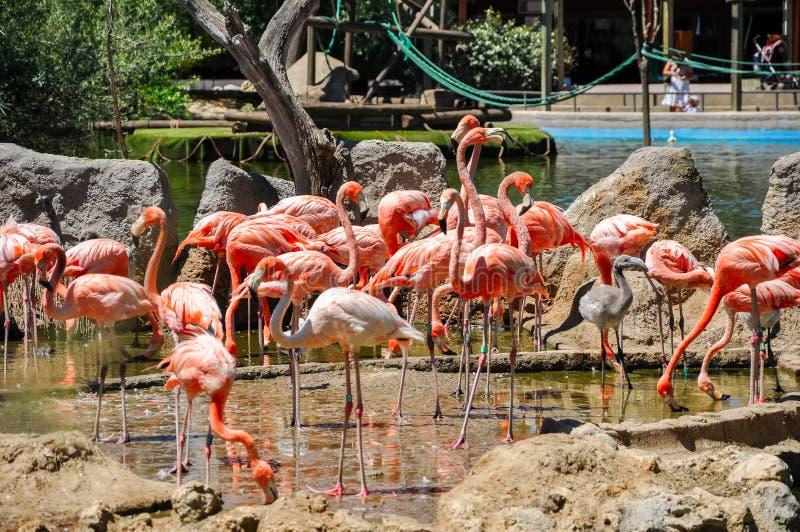 Стадо розовых фламинго стоковые фотографии rf