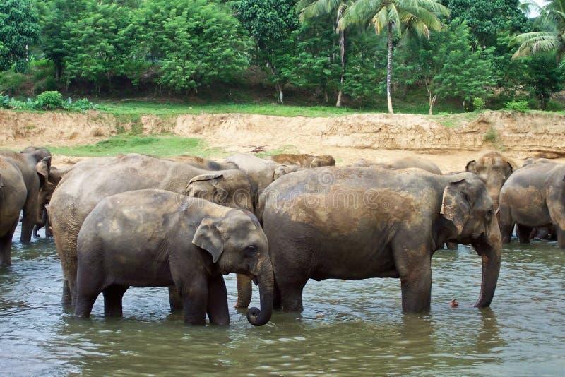 Download Стадо слонов в реке стоковое изображение. изображение насчитывающей группа - 40579953