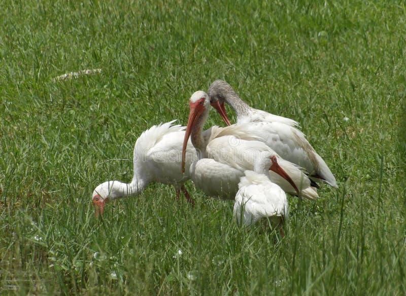 Стадо ibis стоковая фотография