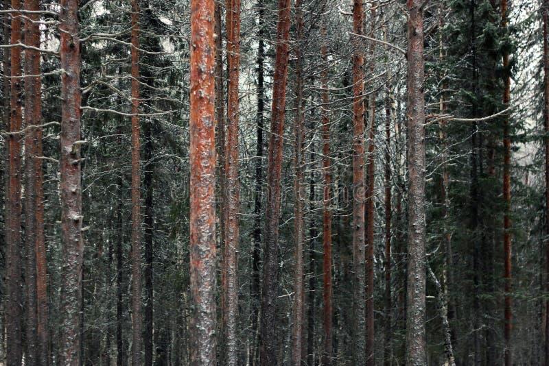 Стволы дерева соснового леса в морозном зимнем дне Красивая естественная текстурированная предпосылка стоковые изображения rf