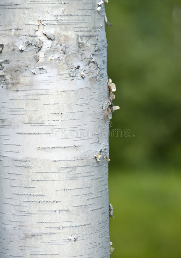 ствол дерева березы стоковое фото rf