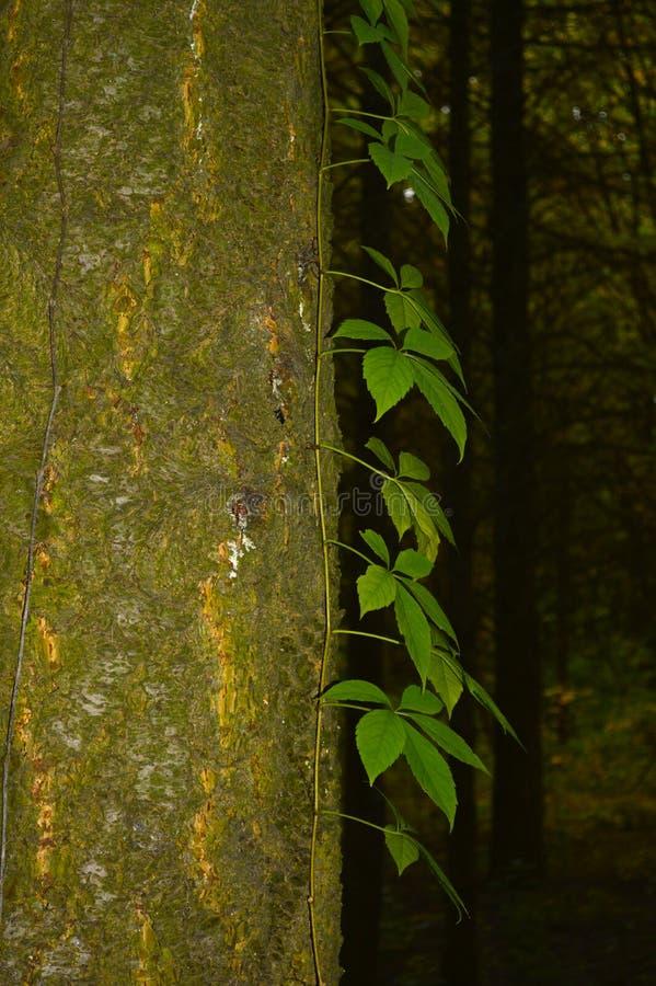 Ствол дерева перерастанный плющом стоковые фото