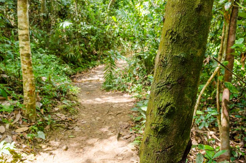 Ствол дерева покрытый с мхом на переднем плане и ко дну небольшой след земли между интенсивной растительностью стоковая фотография rf