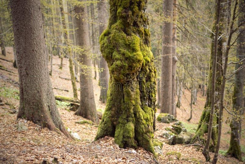 Ствол дерева покрытый с мхом Толстый перерастанный мох дереву в лесе стоковая фотография