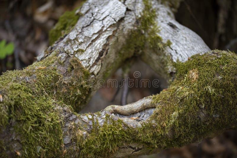 Ствол дерева со свежим зеленым мхом стоковые изображения rf