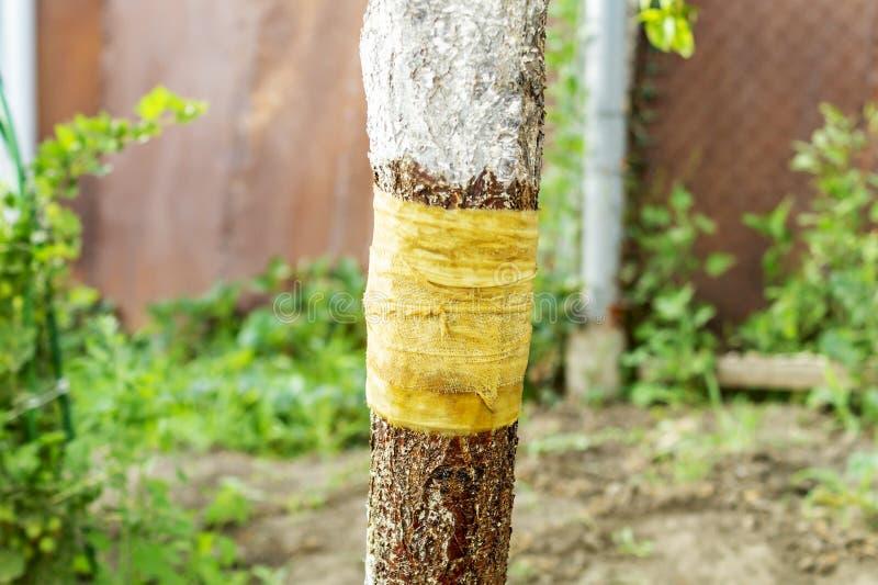 Ствол дерева с повязкой пропитанной со смолкой Защита против муравьев которые разрушают хобот фруктового дерева r стоковые фотографии rf