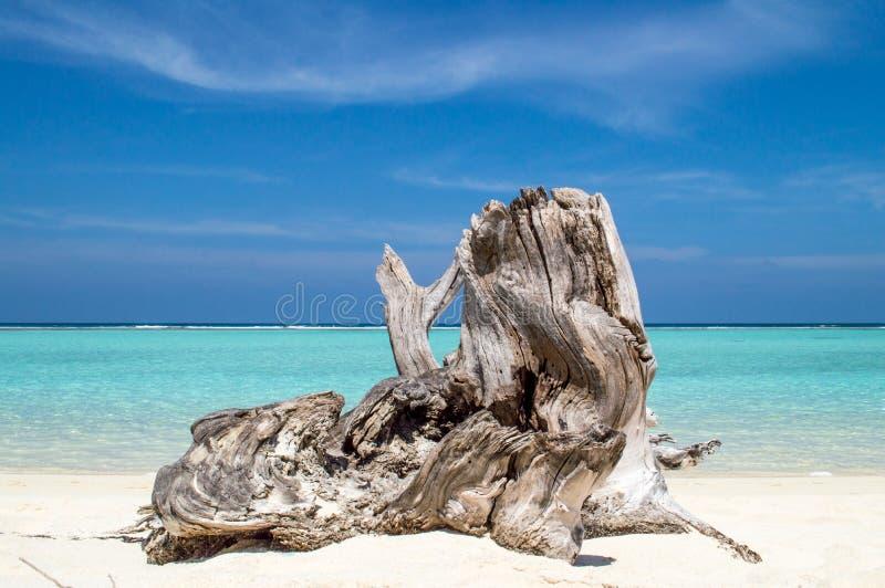 Ствол дерева на тропическом пляже стоковые фотографии rf