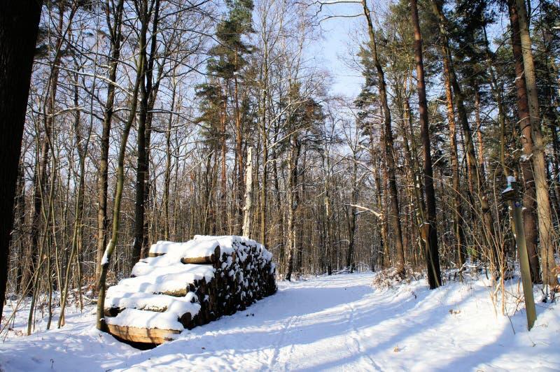 Стволы дерева в зиме стоковые изображения rf