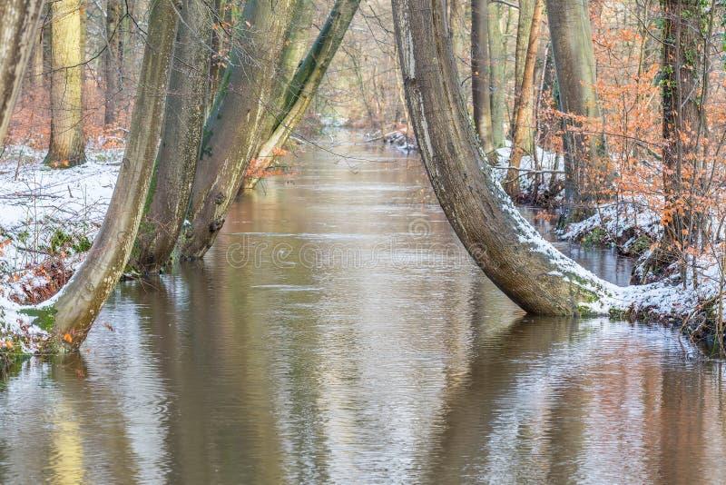 Стволы дерева вдоль леса текут с снегом в зиме стоковая фотография