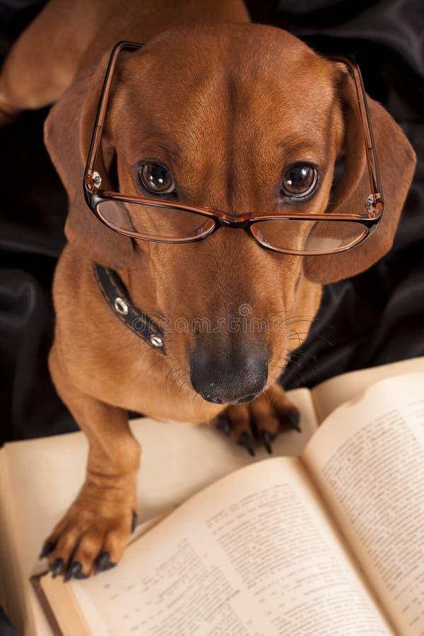стекла собаки dachshund книги стоковое изображение rf