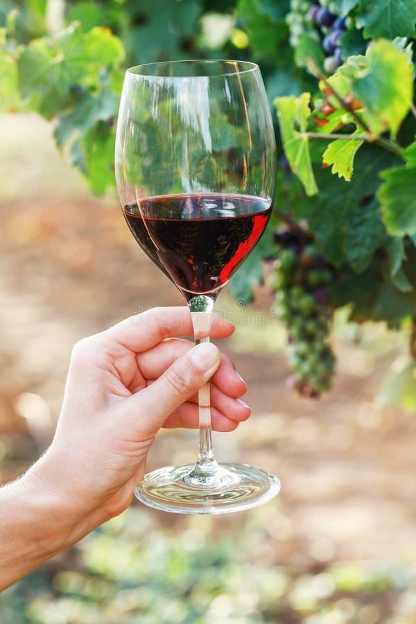Стекло красного вина на фоне лозы стоковая фотография