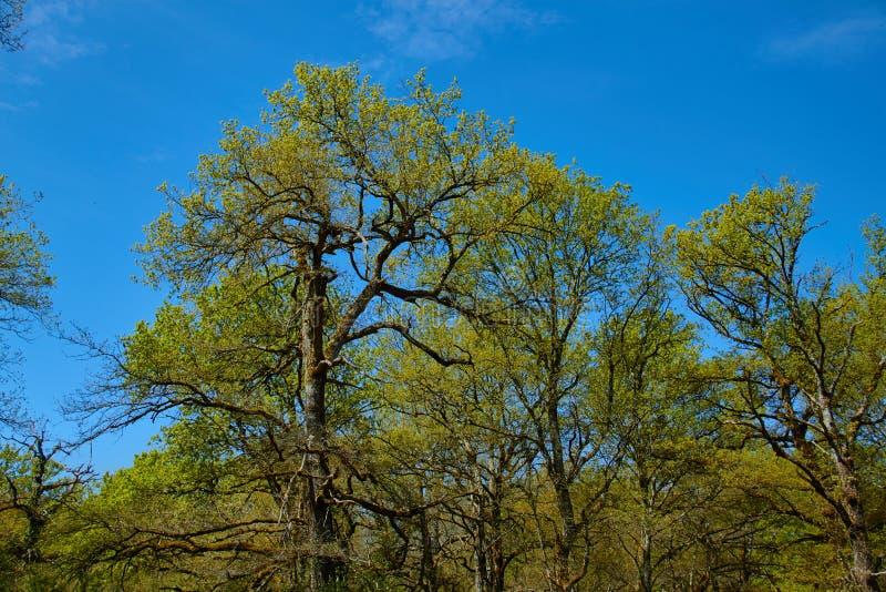 стекло с листьями и ветвями зеленого дуба на фоне голубого неба стоковая фотография