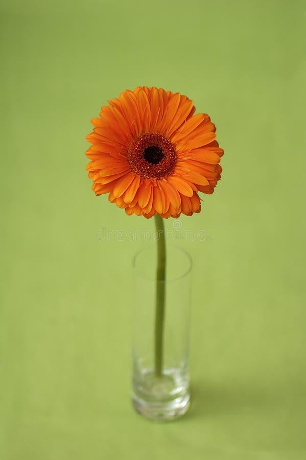 стекло gerber цветка стоковое изображение rf