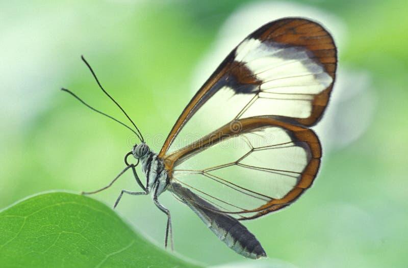 стеклянные крыла oto greta стоковая фотография rf