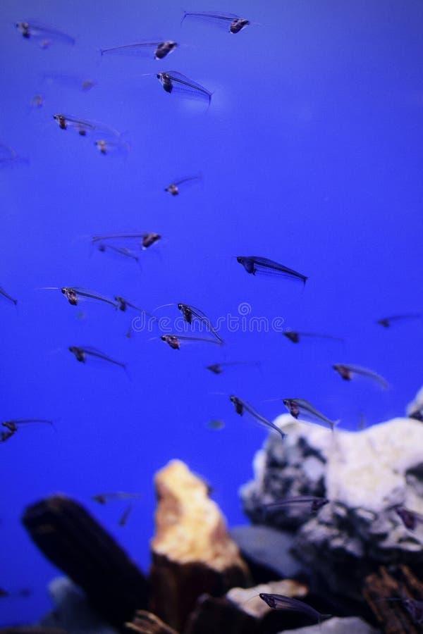 Стеклянный сом в аквариуме стоковое фото rf