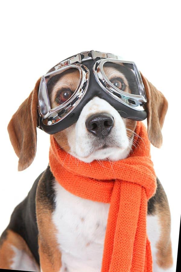 Стекла или изумлённые взгляды летая собаки нося стоковые изображения