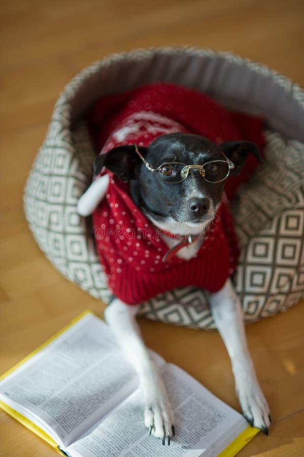 Стекла черно- белой собаки нося и красный костюм на его кресле в середине пустой комнаты стоковые изображения