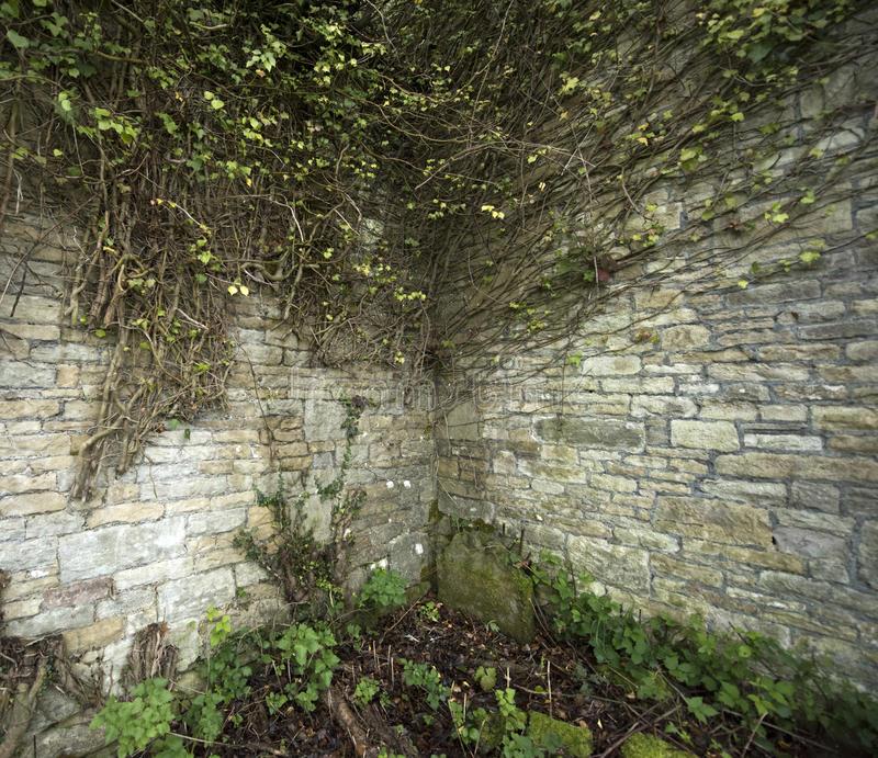 Стена булыжника угловая с лозами плюща стоковые фото