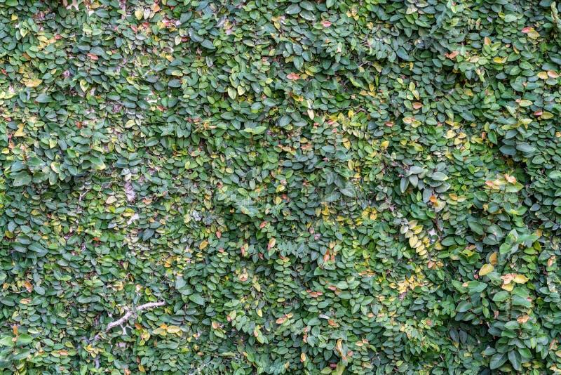 Стена листьев стоковое фото rf